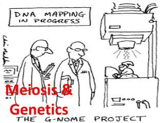 Meiosis & Genetics
