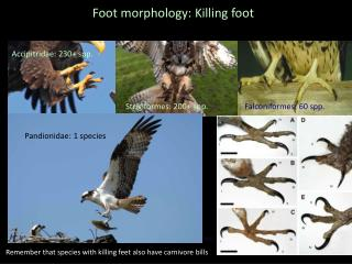 Foot morphology: Killing foot