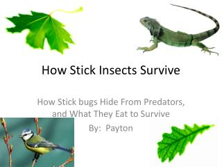 How Stick Insects Survive