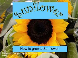 How to grow a Sunflower.