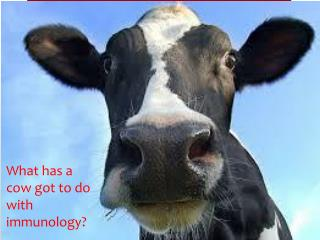 What has a cow got to do with immunology?