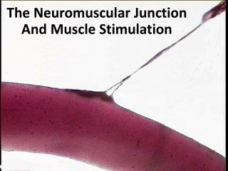 The Neuromuscular Junction And Muscle Stimulation