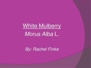 White Mulberry Morus Alba L. By: Rachel Finke