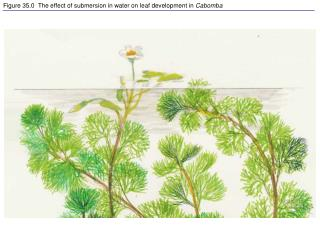 Figure 35.0  The effect of submersion in water on leaf development in  Cabomba