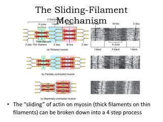The Sliding-Filament Mechanism