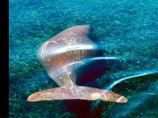 Do dugongs trade food for safety?