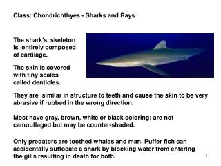 Class :  Chondrichthyes  - Sharks and Rays