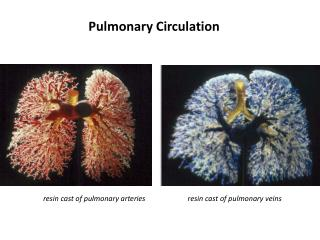 resin cast of pulmonary arteries resin cast of pulmonary veins