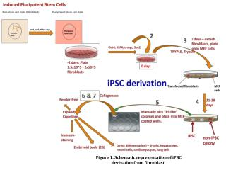 Figure 1. Schematic representation of  iPSC  derivation from fibroblast .