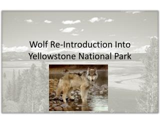 Wolf Re-Introduction Into Yellowstone National Park