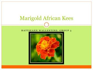 Marigold  African  Kees