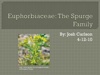 Euphorbiaceae : The Spurge Family