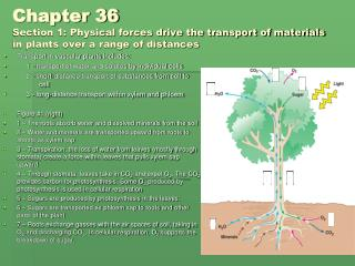 Transport in vascular plants includes:      1 - transport of water and solutes by individual cells