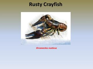 Rusty Crayfish