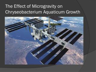 The Effect of Microgravity on  Chryseobacterium Aquaticum  Growth