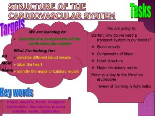 Structure of the cardiovascular system