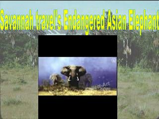Savannah travel's Endangered Asian Elephant
