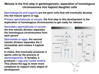 Meiosis is the first step in gametogenesis: separation of homologous chromosomes into haploid daughter cells