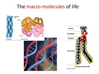 The  macro-molecules  of life
