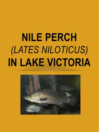 NILE PERCH  ( Lates Niloticus )  IN  LAKE VICTORIA