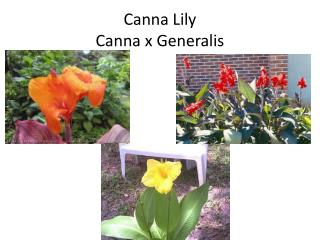 Canna Lily Canna x  Generalis