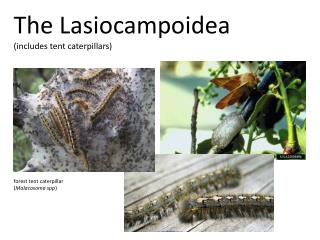 The Lasiocampoidea (includes tent caterpillars)