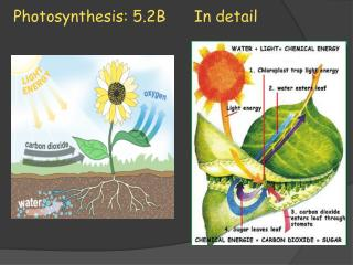 Photosynthesis: 5.2B      In detail