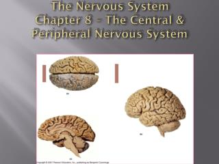 The Nervous System Chapter 8 – The Central & Peripheral Nervous System
