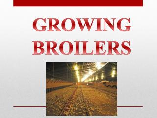 GROWING  BROILERS