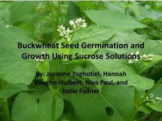 Buckwheat  S eed Germination  and  Growth Using  Sucrose Solutions