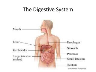 The  D igestive System