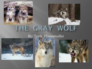 The  Gray   wOLF