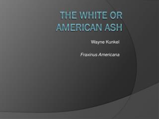 The White or  american  ash