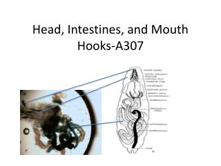 Head, Intestines, and Mouth Hooks-A307
