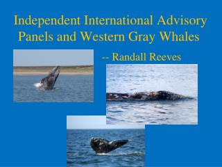 Independent International Advisory Panels and Western Gray Whales
