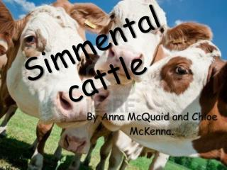 S immental cattle