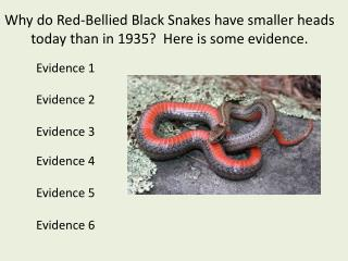 Why do Red-Bellied Black Snakes have smaller heads today than in 1935?  Here is some evidence.