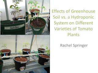 Effects of Greenhouse Soil vs. a Hydroponic System on Different Varieties of Tomato Plants