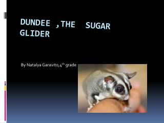 Dundee ,the  Sugar glider
