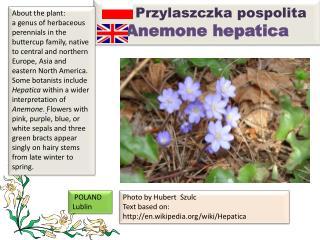 Przylaszczka pospolita Anemone hepatica
