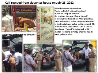 Calf rescued from slaughter house on July 23, 2012