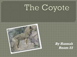 The Coyote