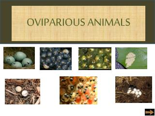 OVIPARIOUS ANIMALS