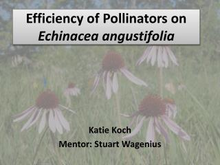 Efficiency of Pollinators on  Echinacea angustifolia