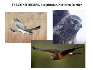 FALCONIFORMES,  Accipitridae , Northern Harrier
