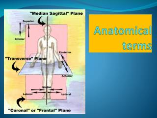 Anatomical terms