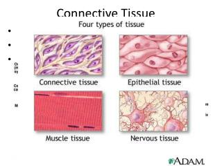 Connective Tissue