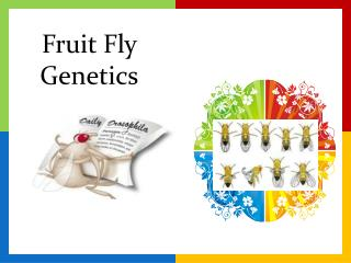 Fruit Fly  Genetics