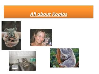 All about Koalas