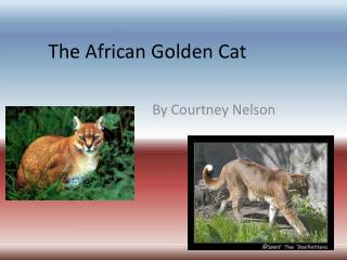 The African Golden Cat